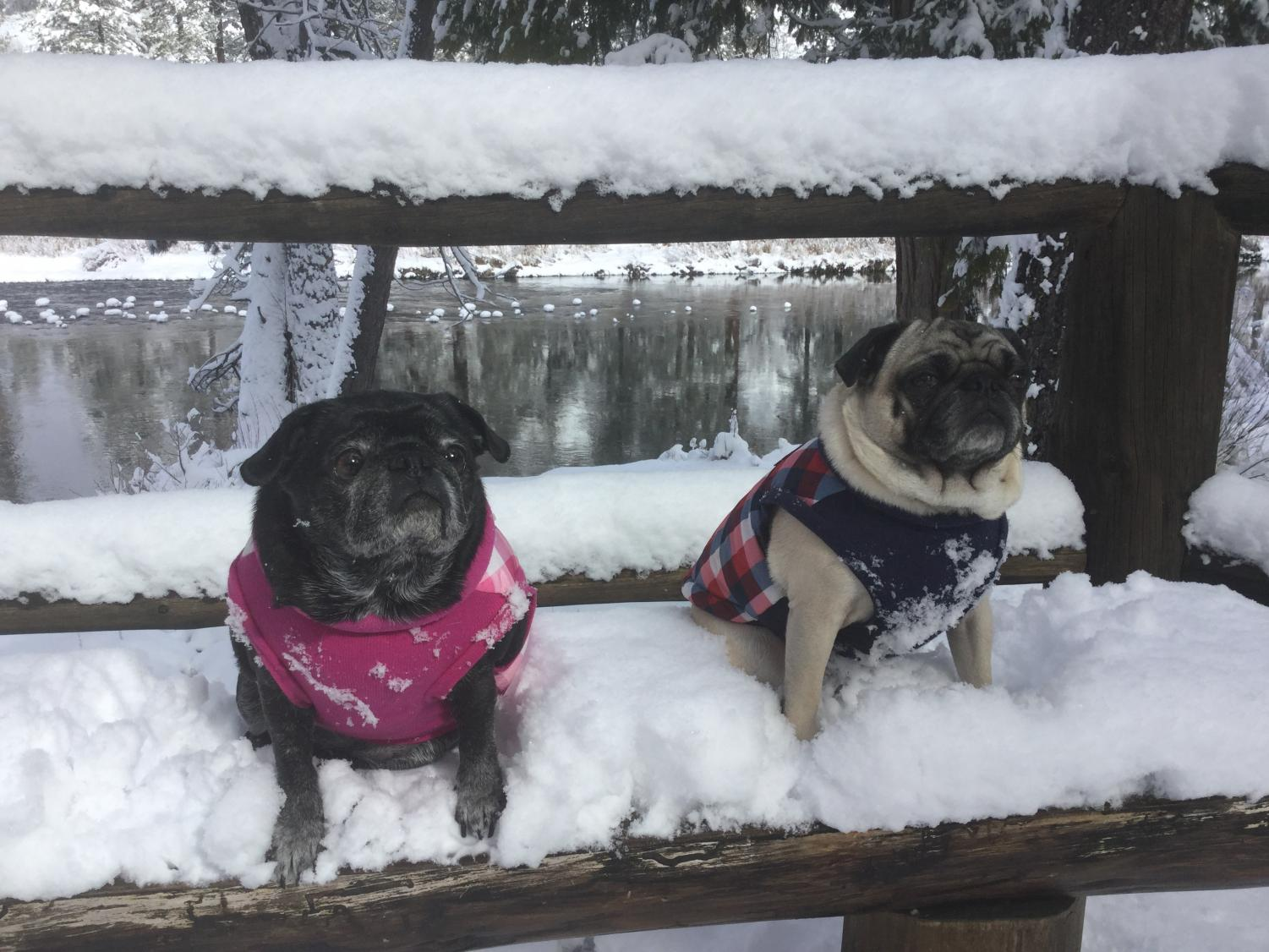 Mr. Heywood's Pugs, Olive and Woody, pictured on a snowy walk. (Photo courtesy of Mr. Heywood)